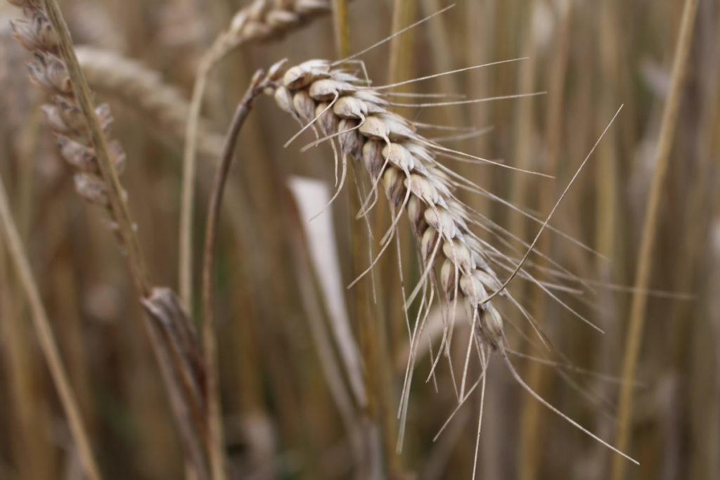 Scotland The Bread grain